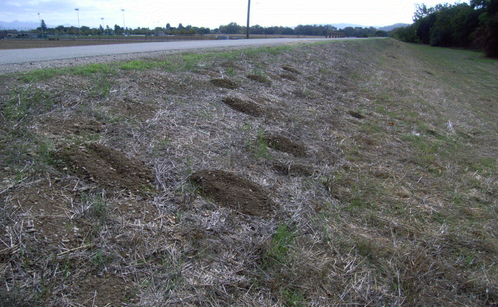 Uvas levee burrowing rodent damage